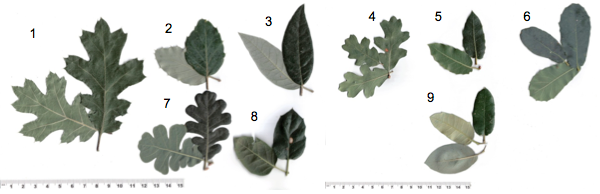 Leaf idenfitication guide